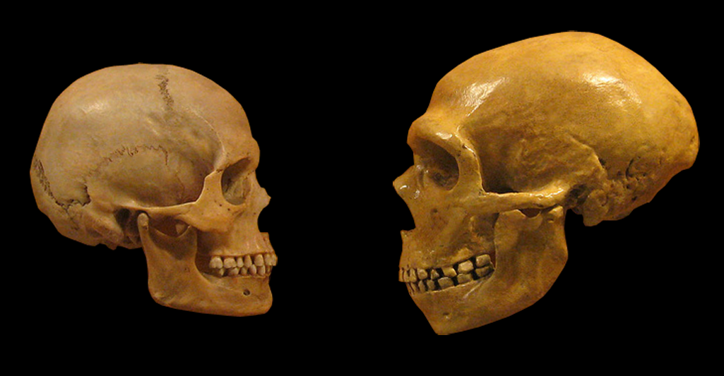 Sapiens and Neanderthal skulls